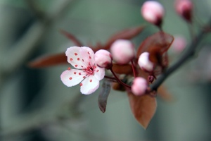 cherry blossom_by Liz du Canada